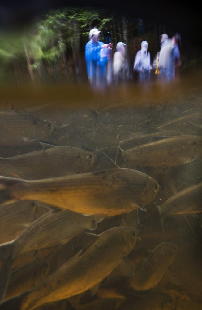 Alewives swim in Westbrook's Mill Brook as hikers watch from the shoreline on Saturday, June 3, 2017. This photo was shot using an underwater housing, with the camera both above and below the water.