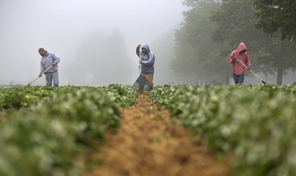 Workers tend to strawberries in the fog at Maxwell's Farm in late May.