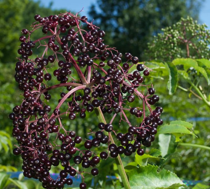 Elderberry varieties are being tested to see which might grow best in Maine.