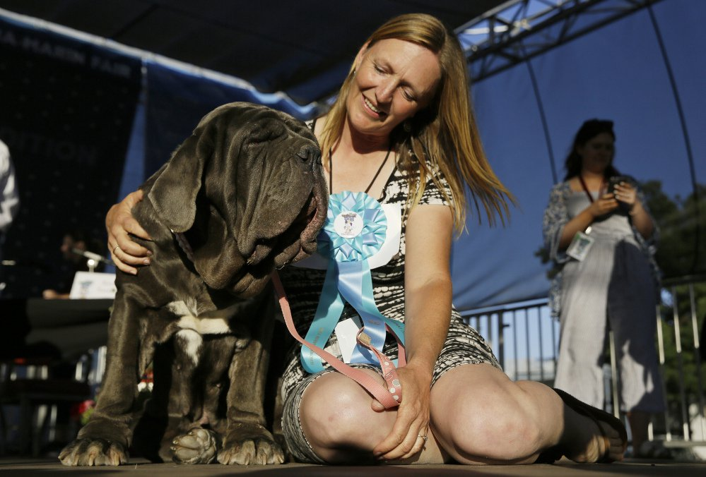 Shirley Zindler of Sebastopol, Calif., sits with Martha, a Neapolitan mastiff, who won the World's Ugliest Dog Contest at the Sonoma-Marin Fair on Friday.