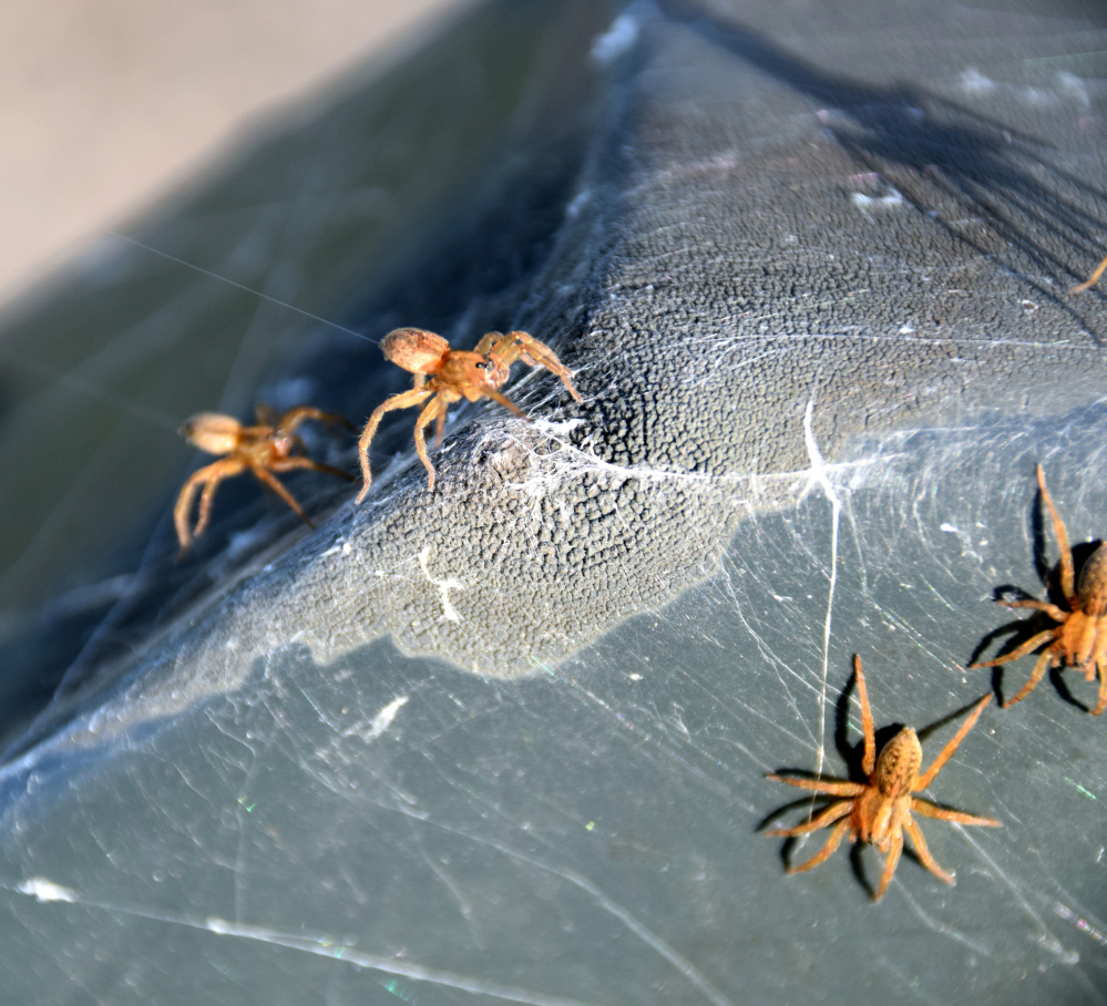 Little wolf spiders go ballooning in the Unity park last month.