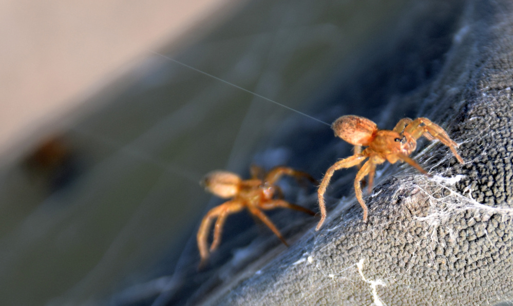 Two young wolf spiders throw out lines of silk to go ballooning in the Unity park last month.