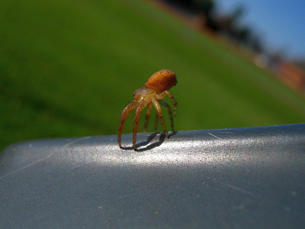 A young crab spider tiptoes in preparation to go ballooning in late summer in the Unity park.