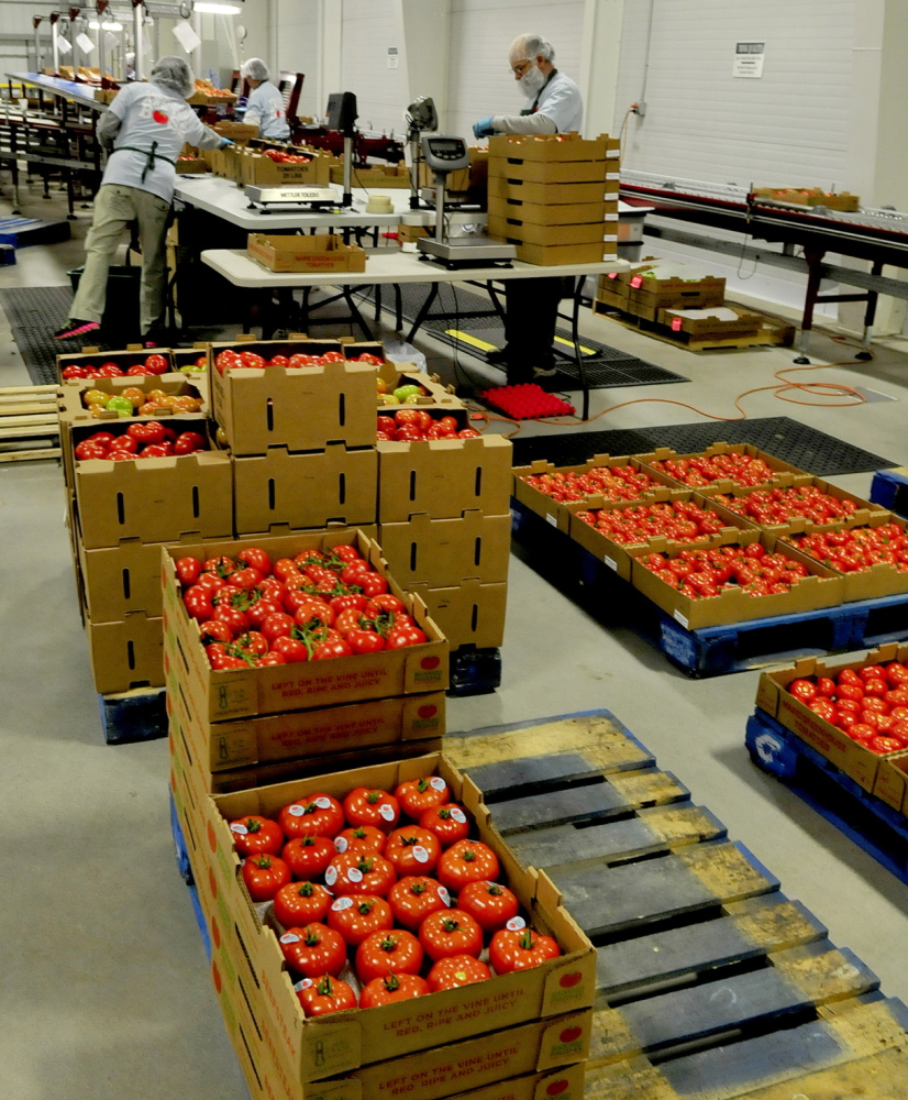 Backyard Farms workers in Madison pack tomatoes for shipping in January 2014. The Madison tomato grower has been purchased by a Canadian produce company.