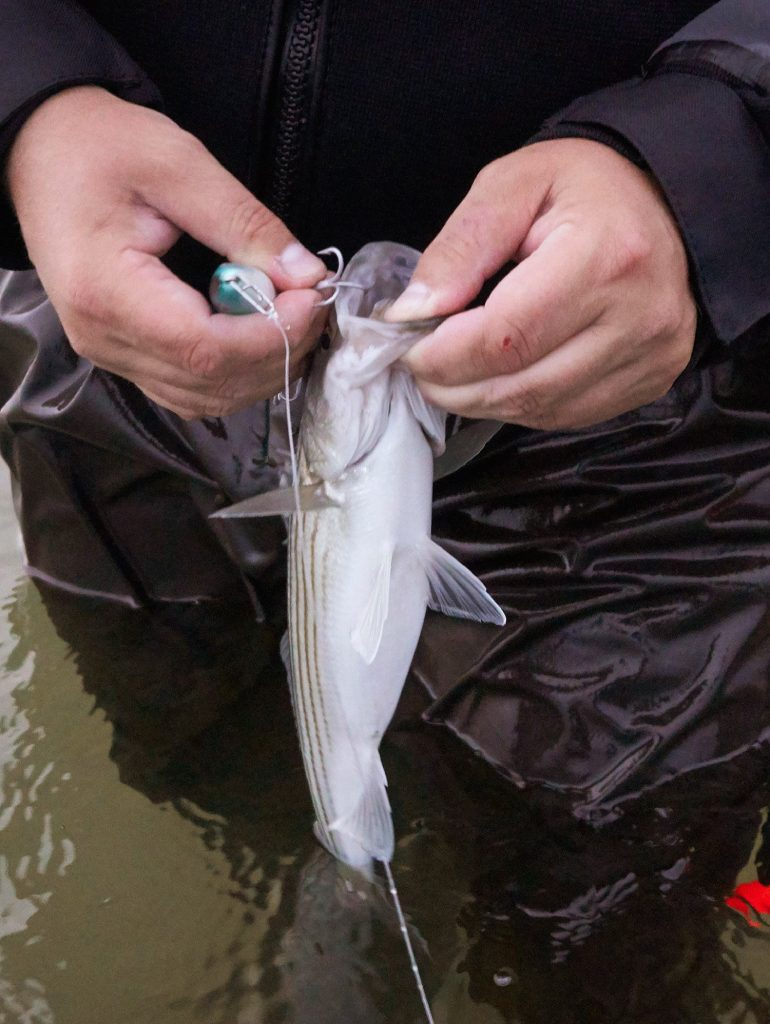 As striper fishermen hope for a big year, one Windham angler