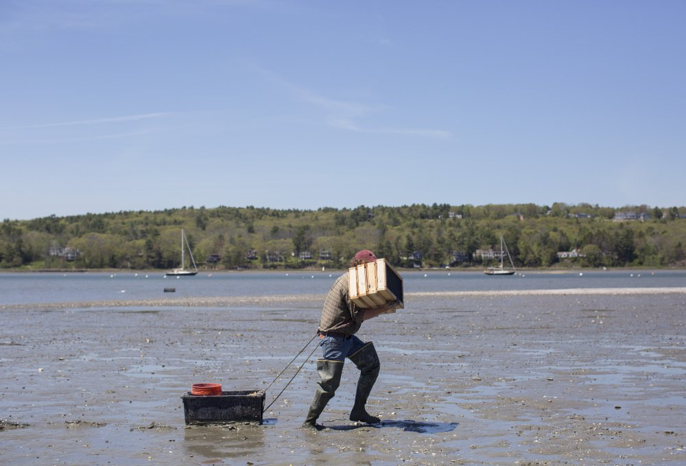 Scientist Brian Beal carries his experimental clam boxes on the mudflats of the Harraseeket River in May. Beal says that hoping a winter deep-freeze kills off predator green crabs is not the way to save Maine's clamming industry, but aquaculture may be.