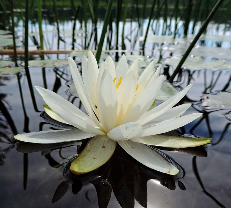 A fragrant water lily near the shore of Lower Kimball Pond.