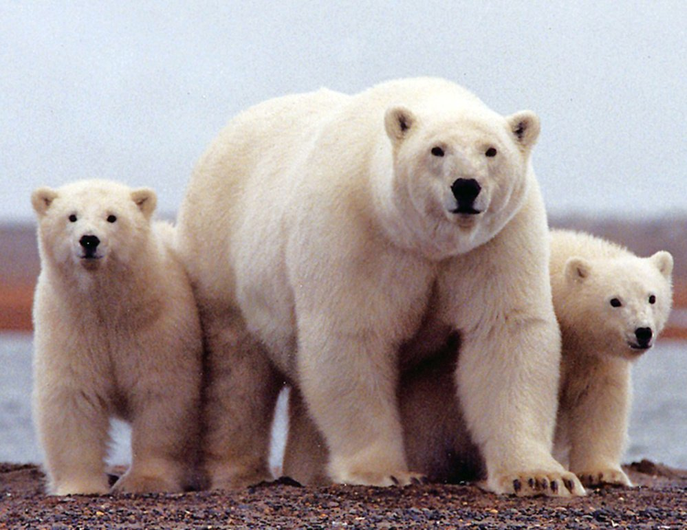 The period from 2010-14 saw 15 polar bear attacks on humans – an upswing blamed on the effects of climate change.