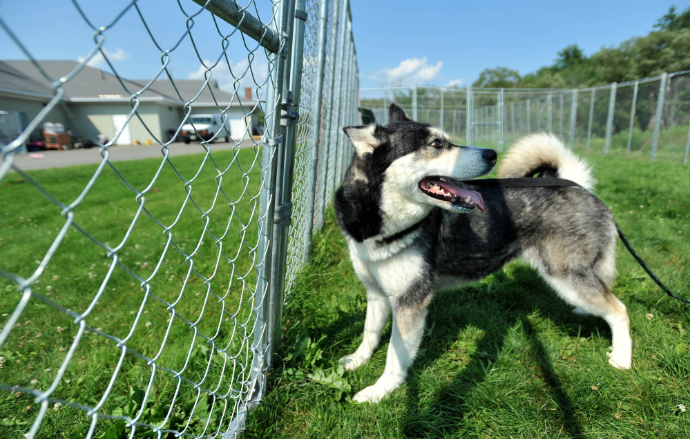 Dakota, a Siberian husky in trouble for killing one dog and injuring another, plays in the outside cage area at the Humane Society Waterville Area in Waterville on Friday.