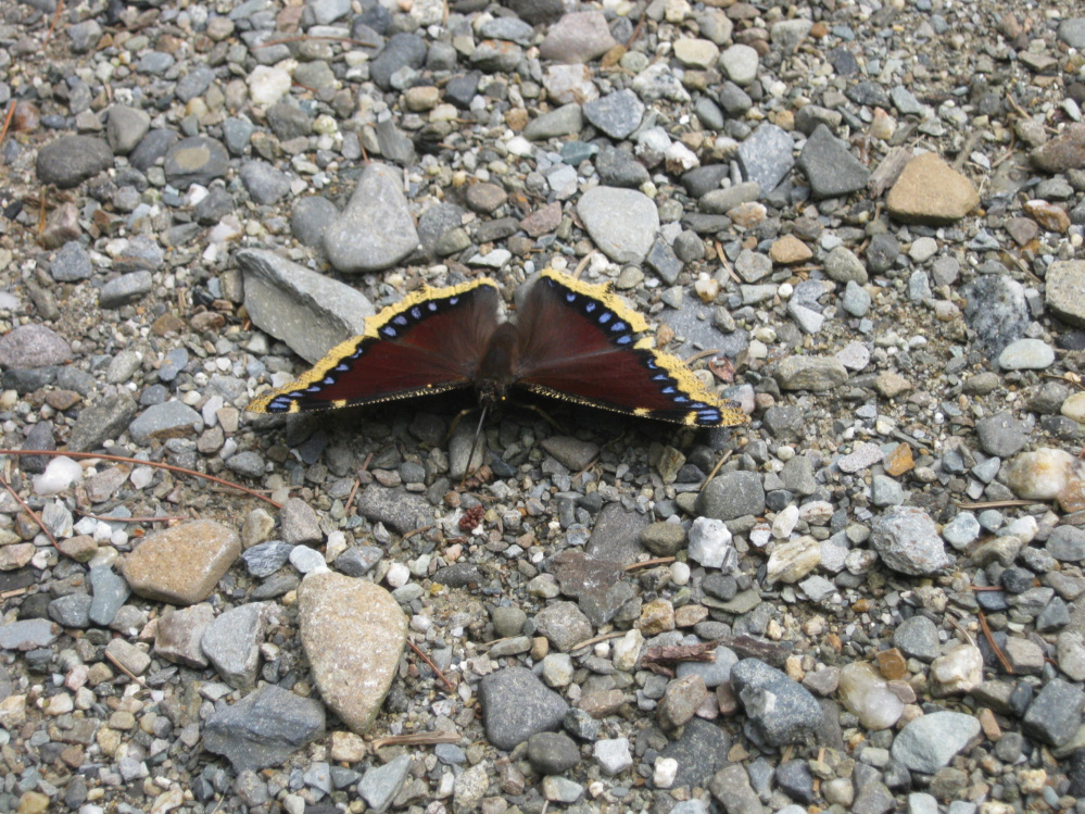 A mourning cloak butterfly in Troy.