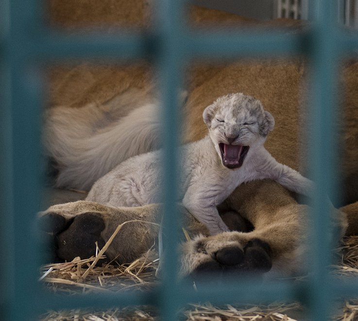 A lion cub climbs on its mother, rescued from a zoo in the Syrian city of Aleppo. The cub was born just hours after its mother was released.