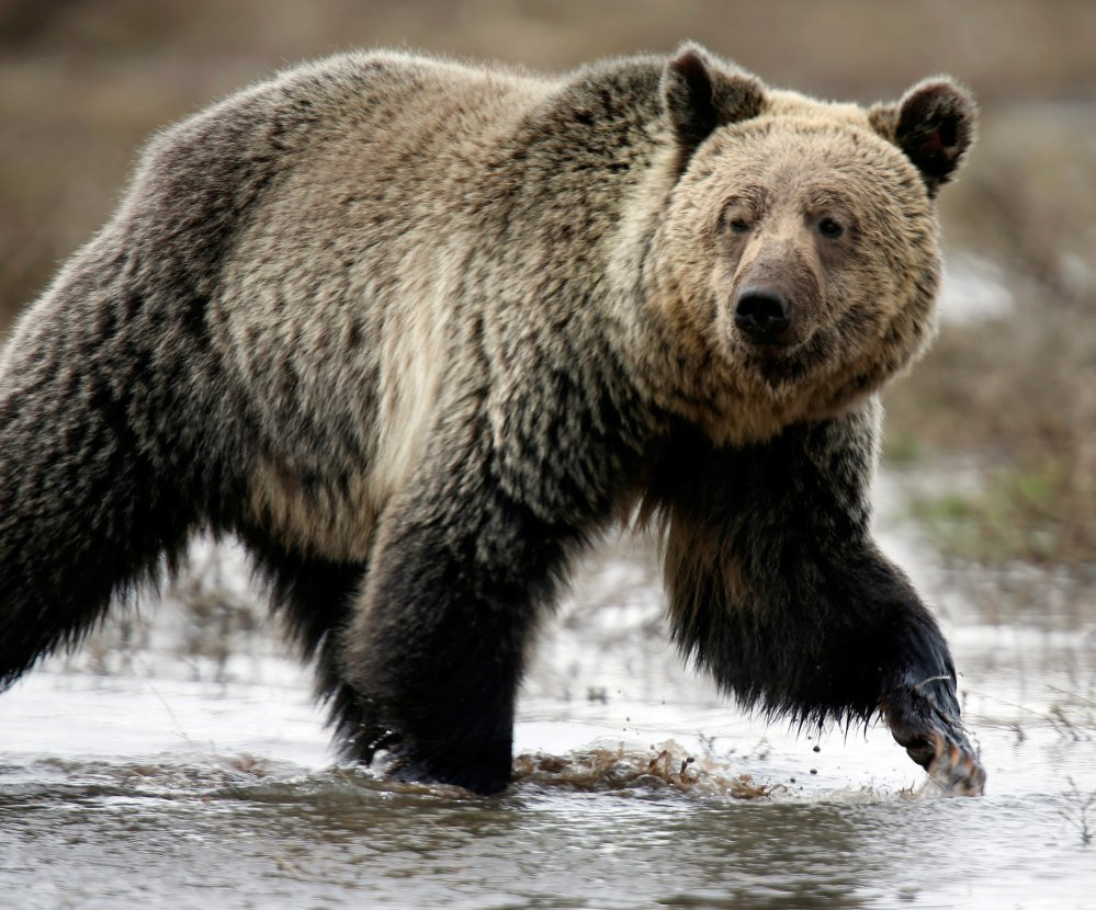 Idaho, Montana and Wyoming are planning limited public hunting of the region's roughly 700 grizzlies.