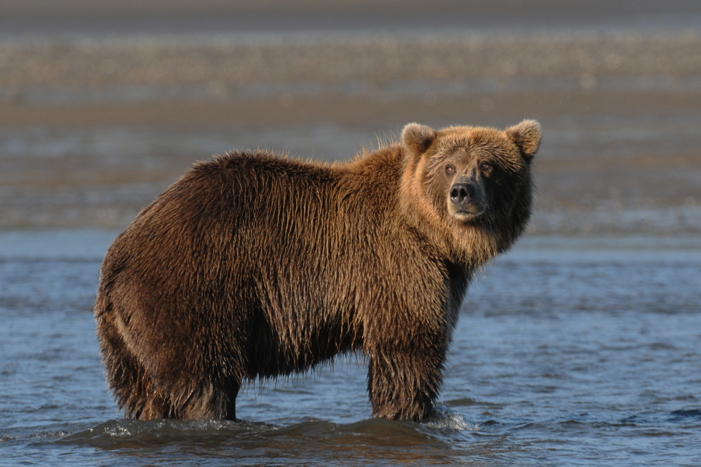 "Gary Westerhoff will present a Narrated Slide Show: ""Grizzlies and Friends"" at 7 p.m. Friday, Aug. 4 at the RFA Lakeside Theater, 2493 Main St. in Rangeley."