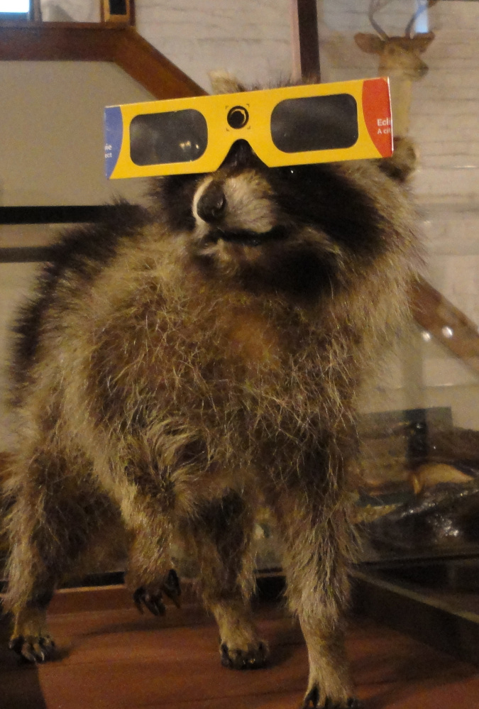 Roscoe the museum raccoon tries out his solar-viewing glasses.