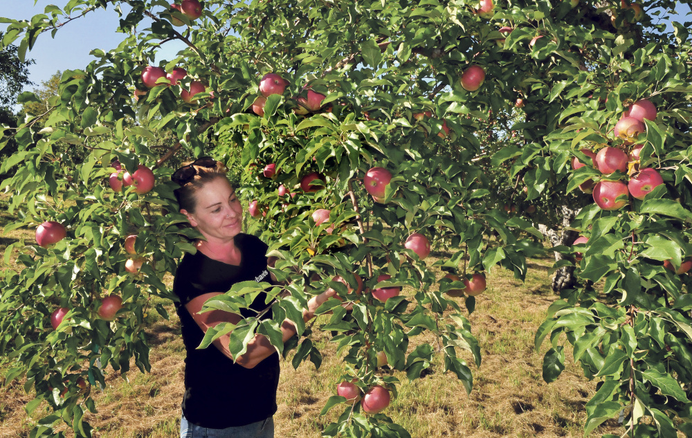 Heather Davis inspects Wolf River apples ripening at Cayford Orchards in Skowhegan on Monday. Davis said the amount of rain this year is more than  last year and credits deep-rooted apple trees to find water.