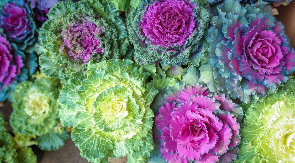 Ornamental kale and cabbage are all about looks. Photo by Yuwadee/Shutterstock.com