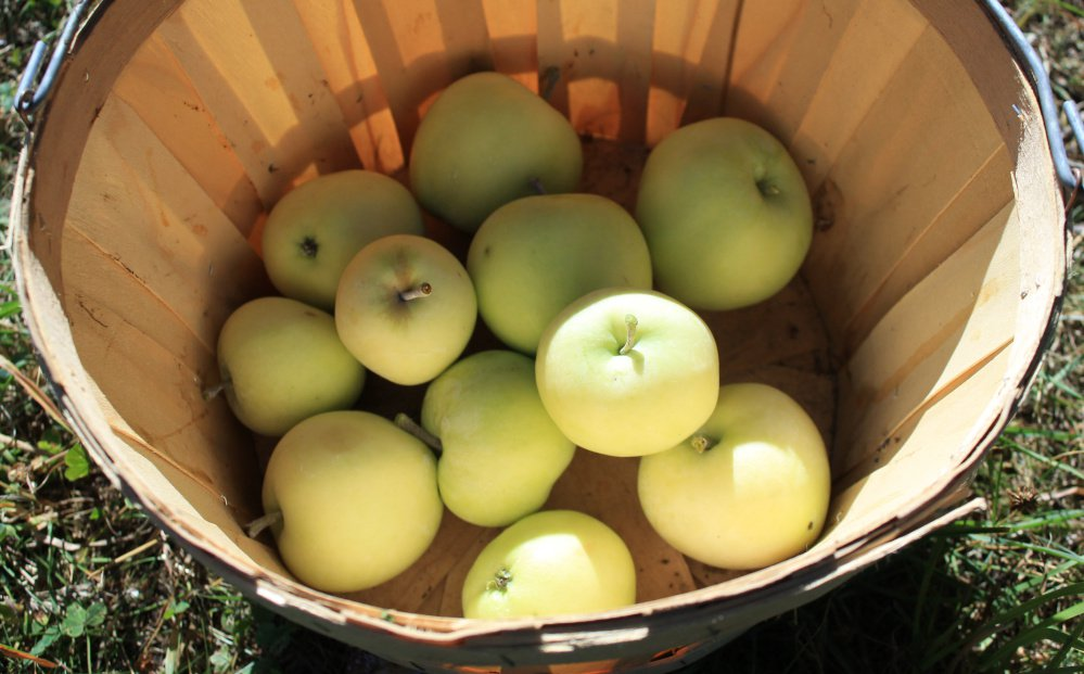 Yellow Transparent apples make superb applesauce.