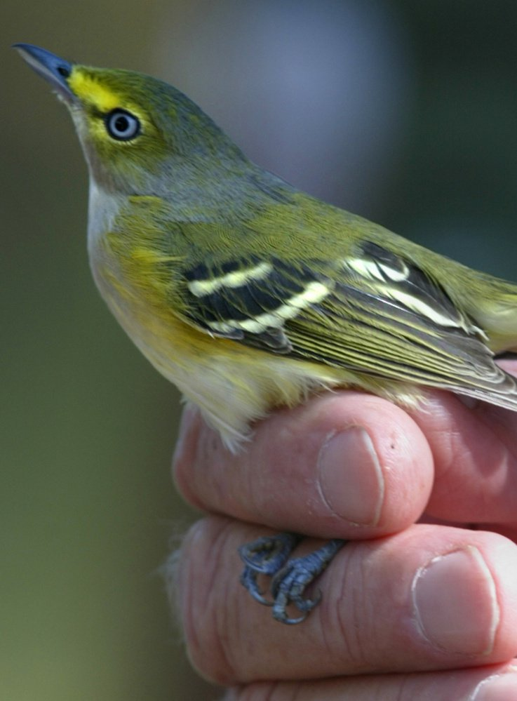 Populations of the white-eyed vireo and many other species have held up after significant natural disasters.