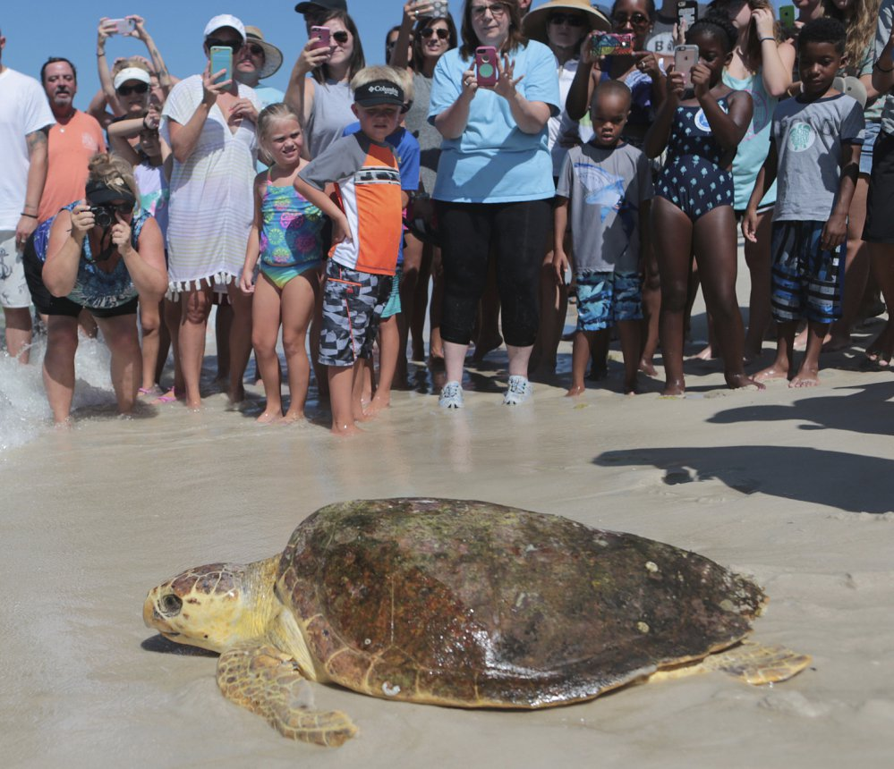 A loggerhead lumbers to the sea after after being treated for illness at Gulf World Marine Institute, in Inlet Beach, Fla.