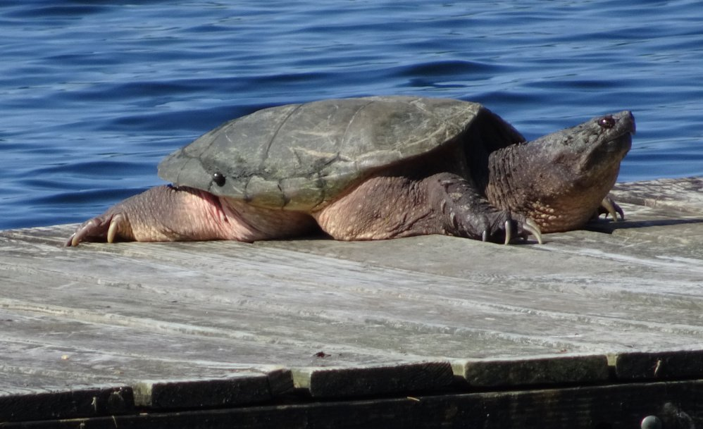 "Now that might make you think twice about jumping off the dock. Mary Thorp sent in this photo taken by her vacationing  neighbor, Ray Kimball, from Thomas Pond in Raymond. The snapping turtle ""basked in the sun on our float after dragging himself out of the water and onto the raft."""