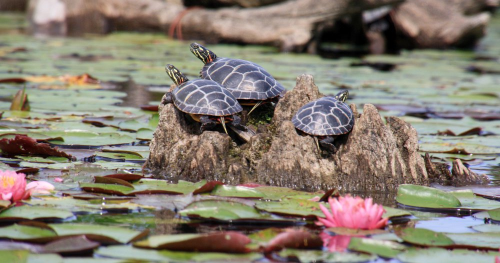 "They're not snappers, but these painted turtles found a spot on the Presumpscot River where Bruce Small was able to take this photo. ""There are a lot of painted turtles, a variety of birds, and many, many water lilies,"" says Small."
