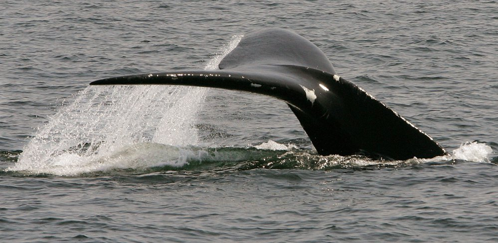 A North Atlantic right whale dives in Cape Cod Bay near Provincetown, Mass., in 2008. The federal government is extending a protective zone off Massachusetts to try to keep a large group of endangered whales safe from collisions with boats.