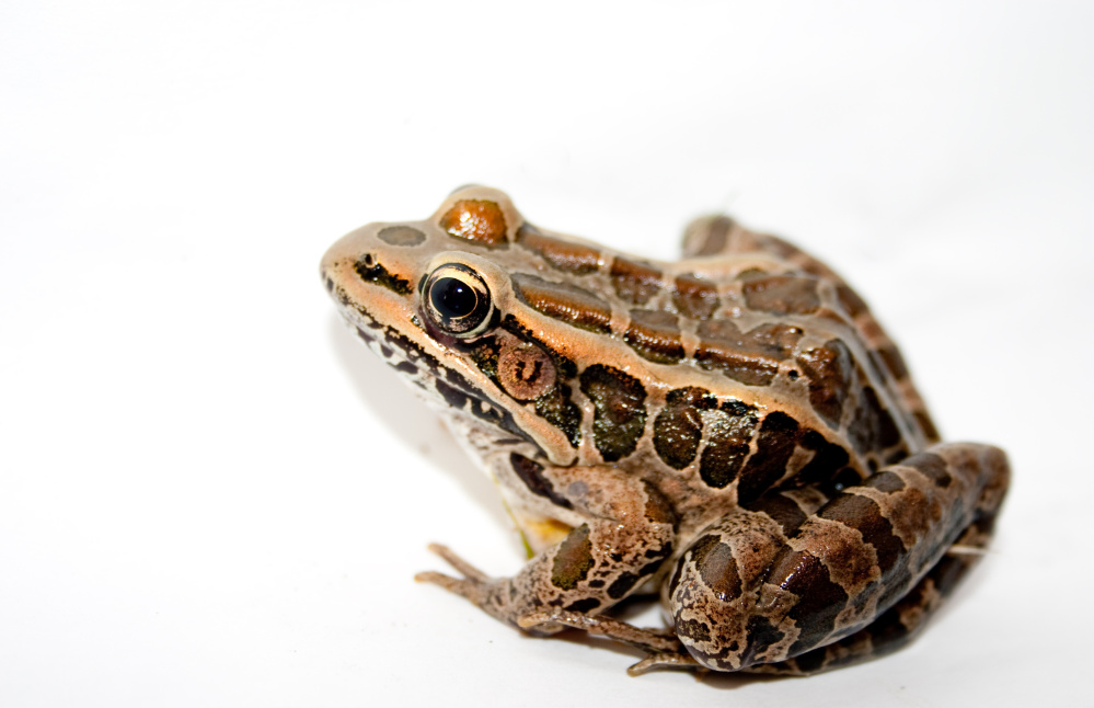 Pickerel Frog, one of Maine's native (and poisonous) amphibians.