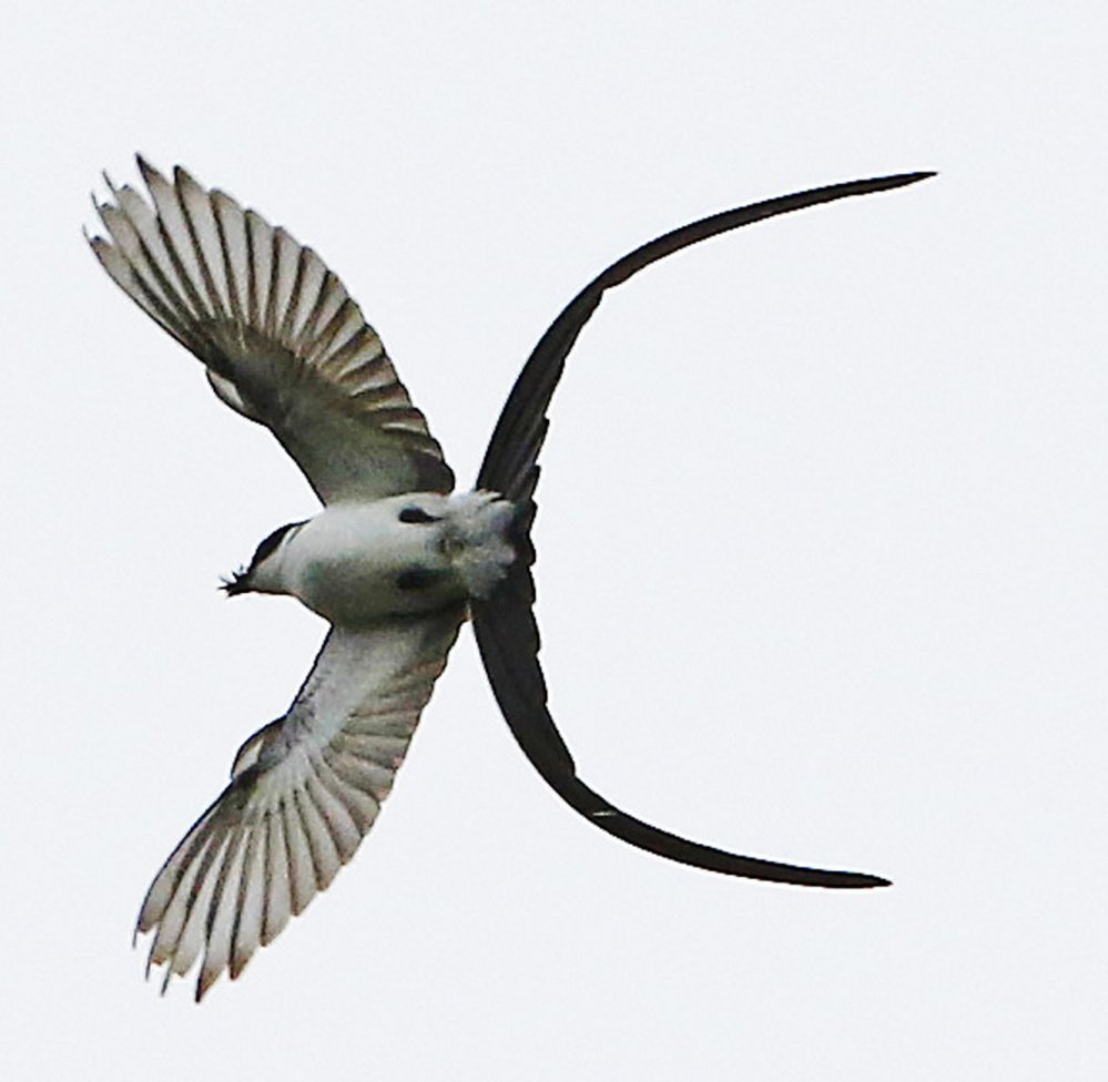 A fork-tailed flycatcher  made a surprise appearance in Maine in September, possibly the result of a case of reverse migration, where the bird – usually found from Mexico to Argentina – confused north and south.