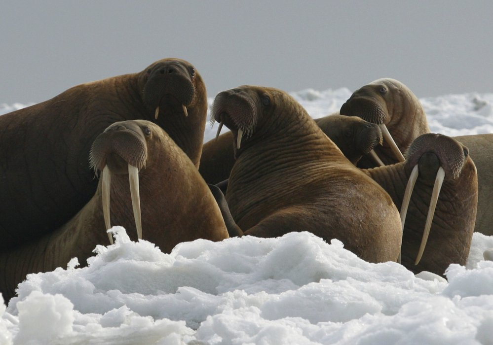 Pacific walrus cows and yearlings rest on ice in Alaska in 2014.
