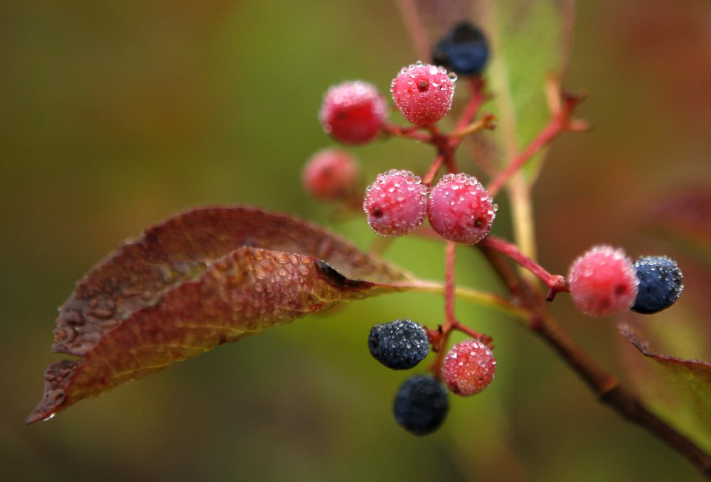Morning dew covers berries in Bartlett, N.H. Despite forecasts of foliage with the brilliant hues of autumn this year, foliage season so far has been disappointing.