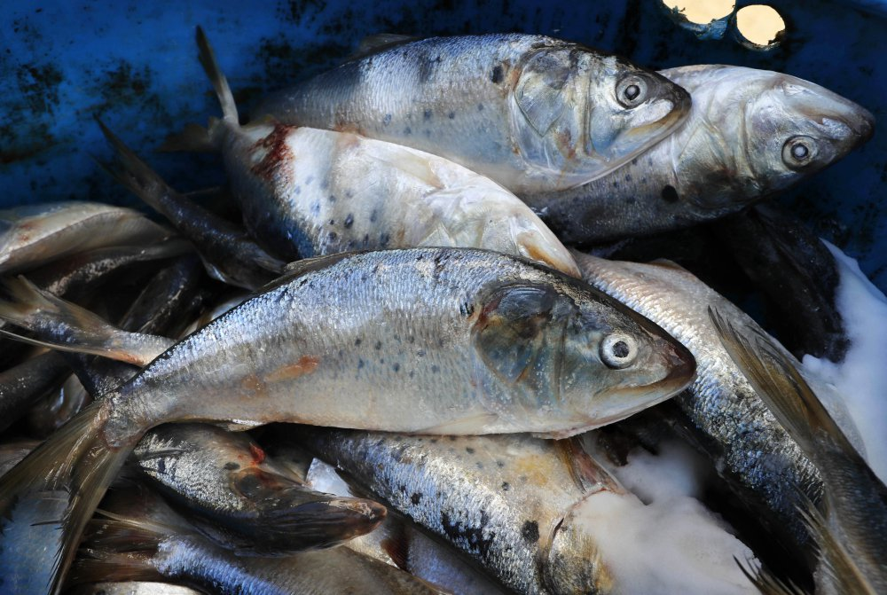 Frozen and salted menhaden sit in a barrel Thursday at a lobster bait warehouse in Portland. Regulators are considering altering the way they manage menhaden to better account for its role in the environment, with a key vote planned in November.