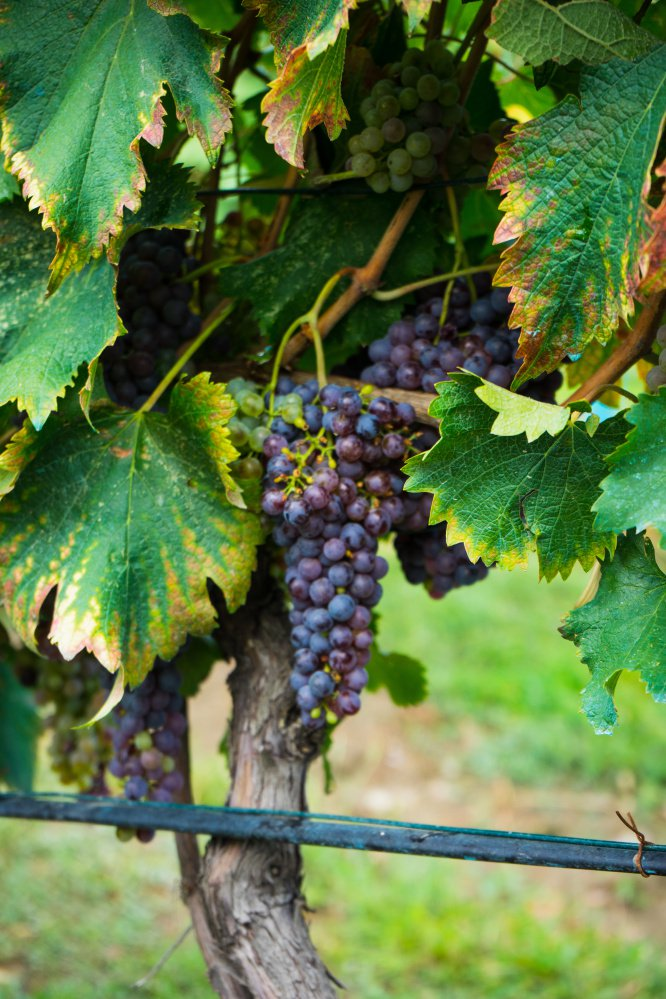Grapes growing in the wine region of Kakheti in the country of Georgia.