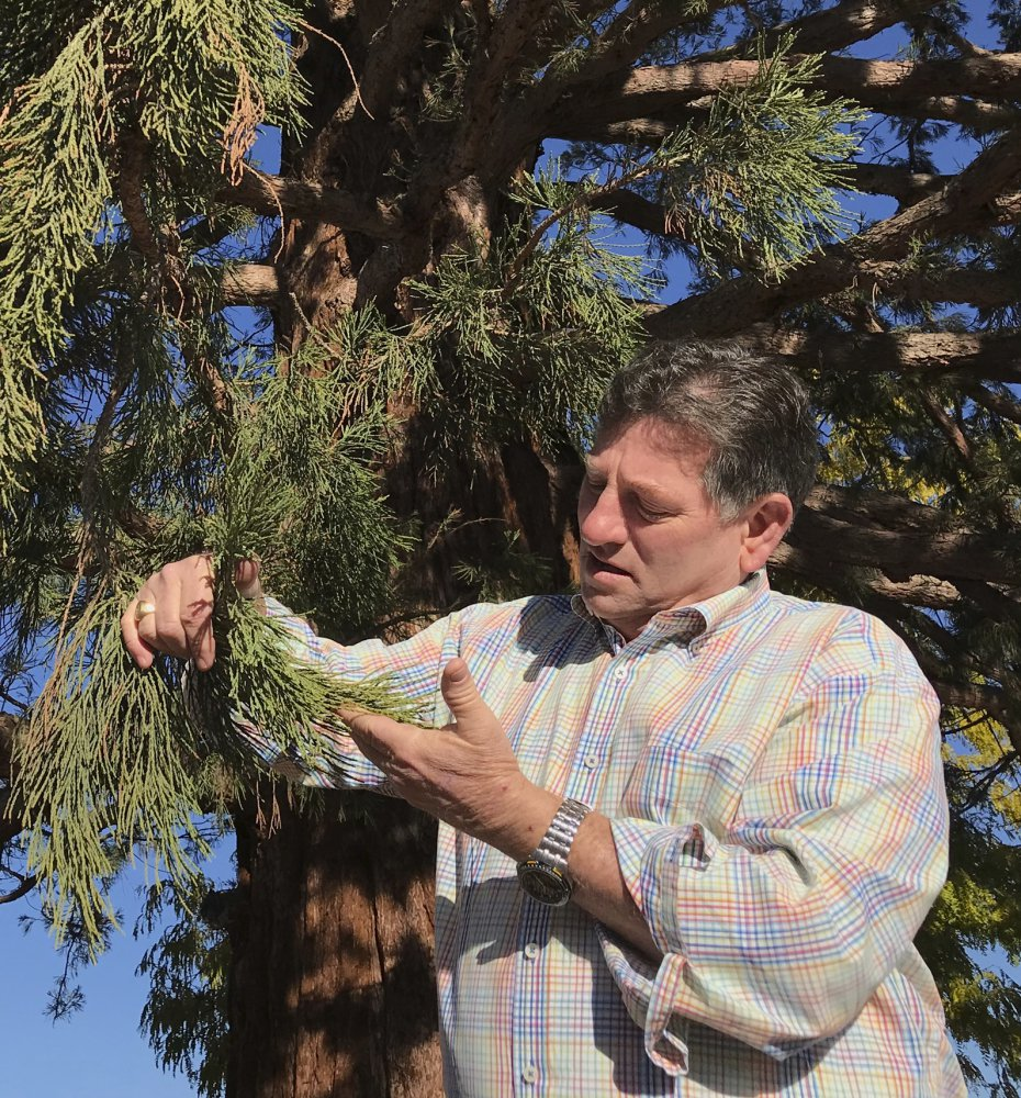 David Cox examines new growth on a sequoia Wednesday in Boise, Idaho.