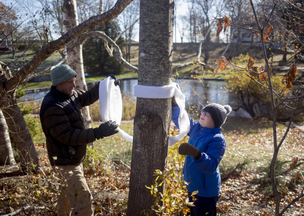 Henry Johnson, 11, and his uncle Scott Duncan work on banding a tree to protect it from winter moth infestation at Fort Williams Park on Saturday.