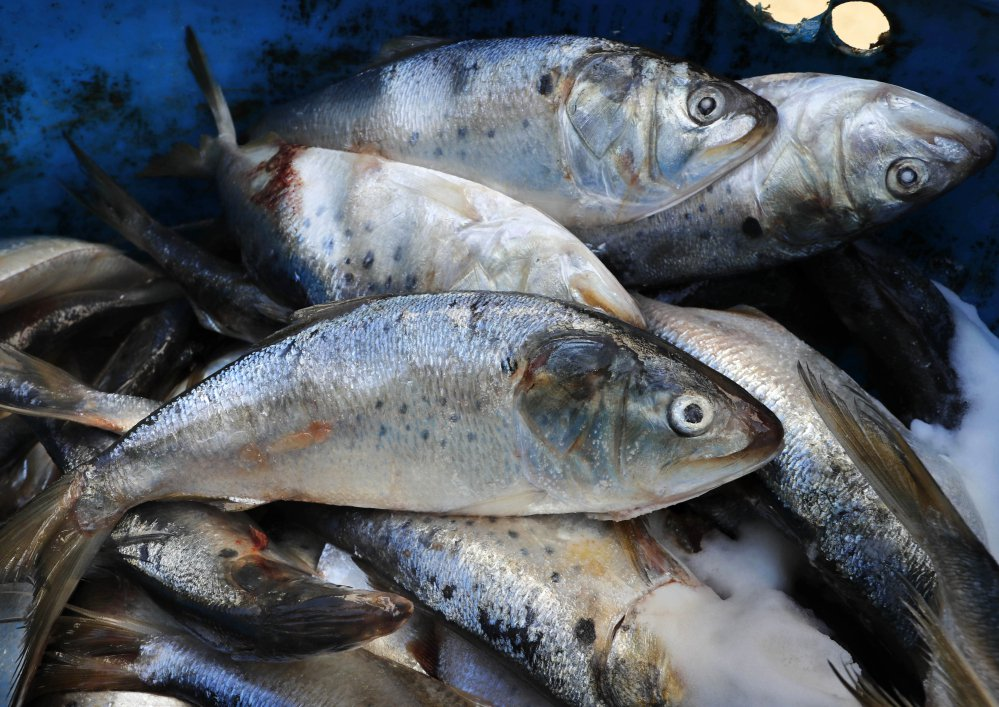 A barrel contains frozen and salted menhaden at a lobster bait warehouse in Portland in October. Environmentalists and commercial fishing groups are divided over a decision to increase the amount fishermen can catch of the ecologically vital fish.