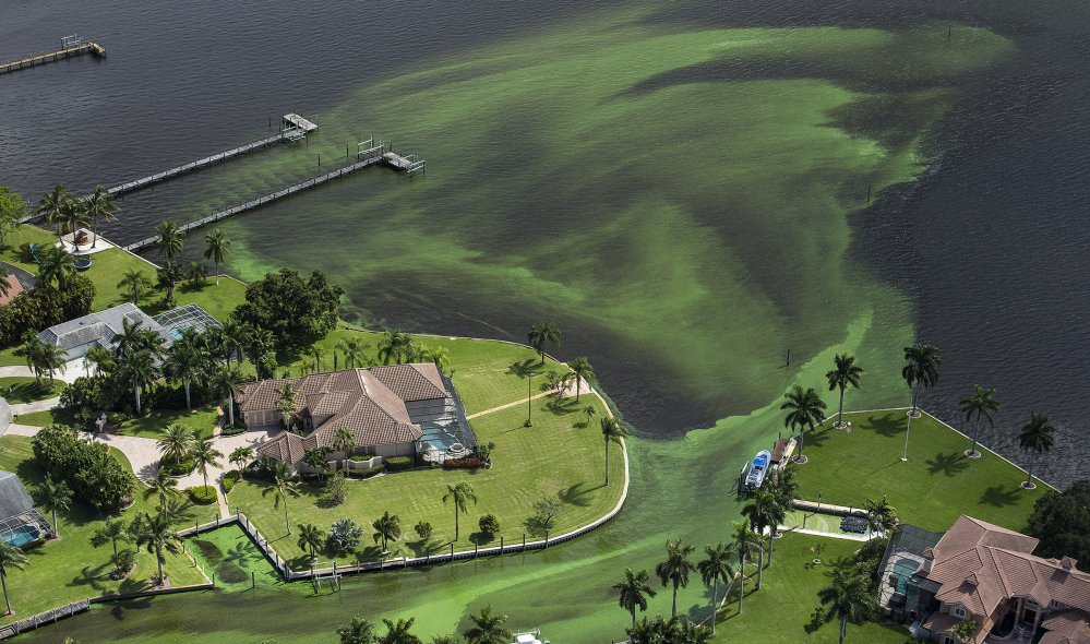 Blue-green algae chokes a section of the St. Lucie River in Stuart, Fla. In 2016, some Florida beaches were closed when algae blooms took over estuaries. Within the past decade, algae outbreaks have been reported in every state.