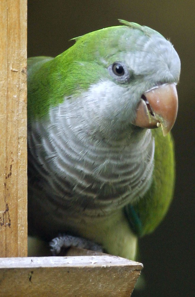 The noisy monk parakeet was among the many feathered finds during a stop in Puerto Rico while on a Caribbean cruise.