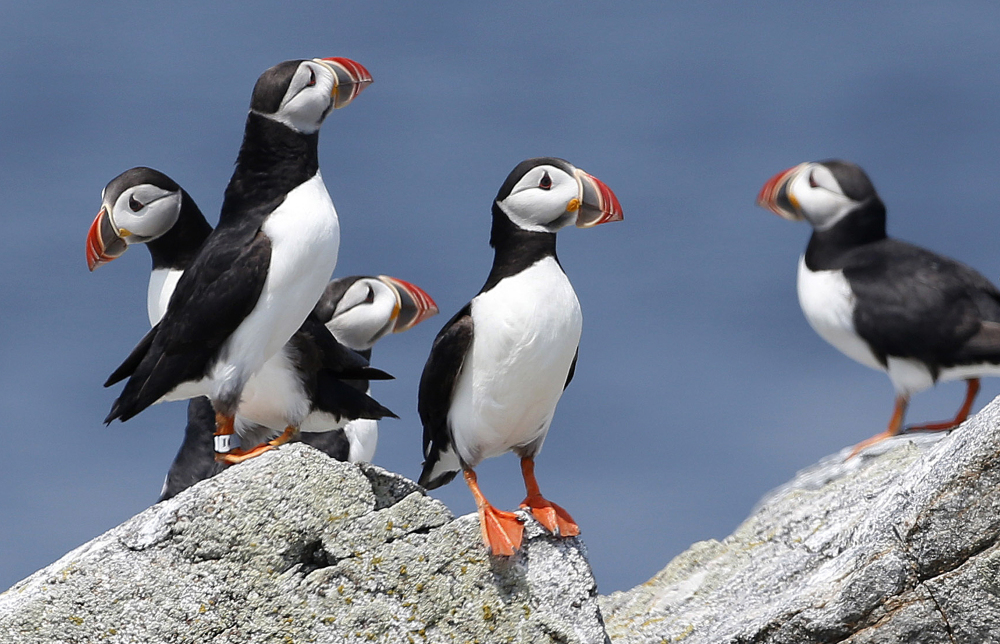 Atlantic puffins congregate near their burrows on Eastern Egg Rock, a small island off the coast of Maine.