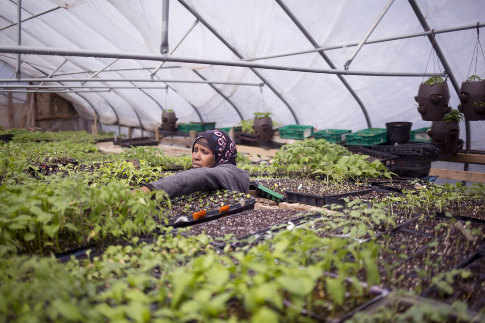 Batula Ismail inspects seedlings at Packard-Littlefield Farm in Lisbon, which Cultivating Community uses to train farmers. Staff photo by Brianna Soukup
