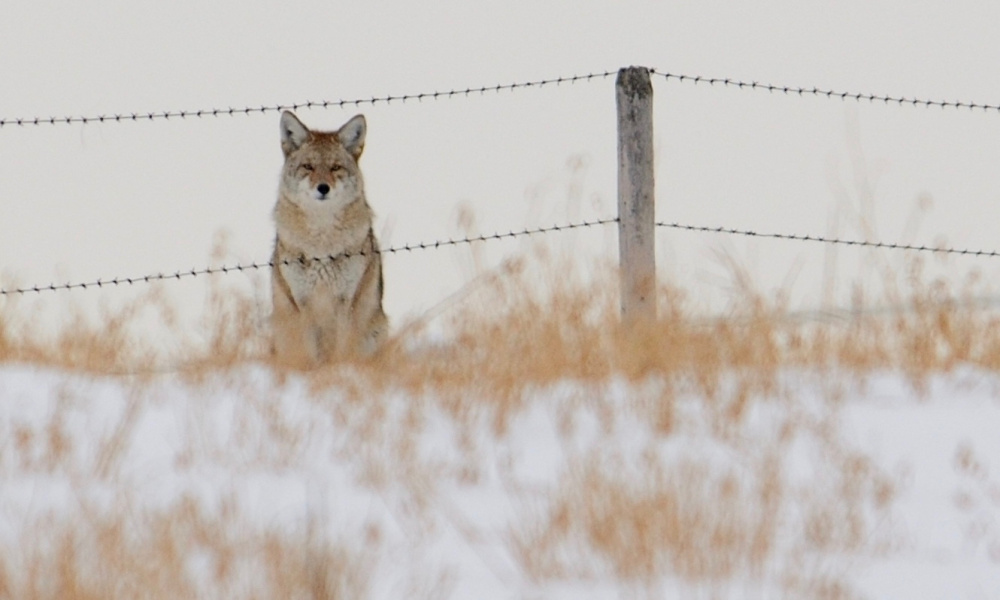 A presentation by Geri Vistein, a wildlife biologist, is planned at 2:30 p.m. Sunday, Nov. 5, in Somerville. Vistein will talk about the role coyotes play in a farm ecosystem.