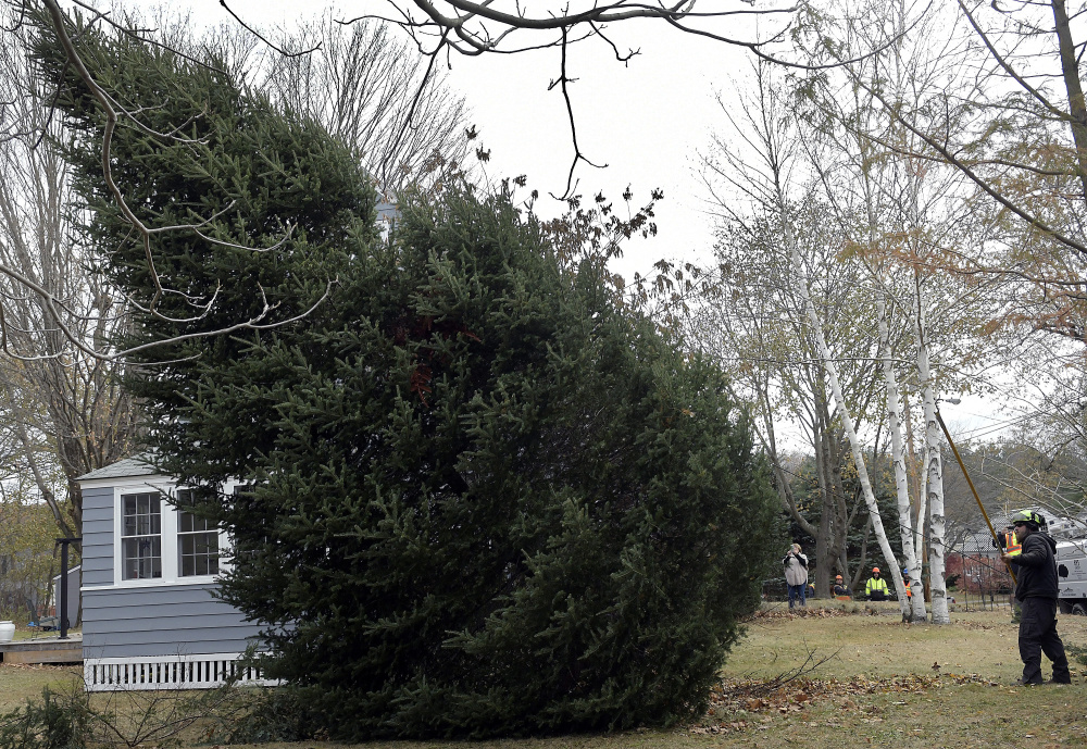 Arborist Tim Brown, right, guides a spruce tree to the ground Wednesday on the lawn of Augusta residents Anne and Cliff Vining. Brownies Landscaping and Excavation felled the tree, which the couple donated to serve as a holiday tree on Water Street in Augusta.