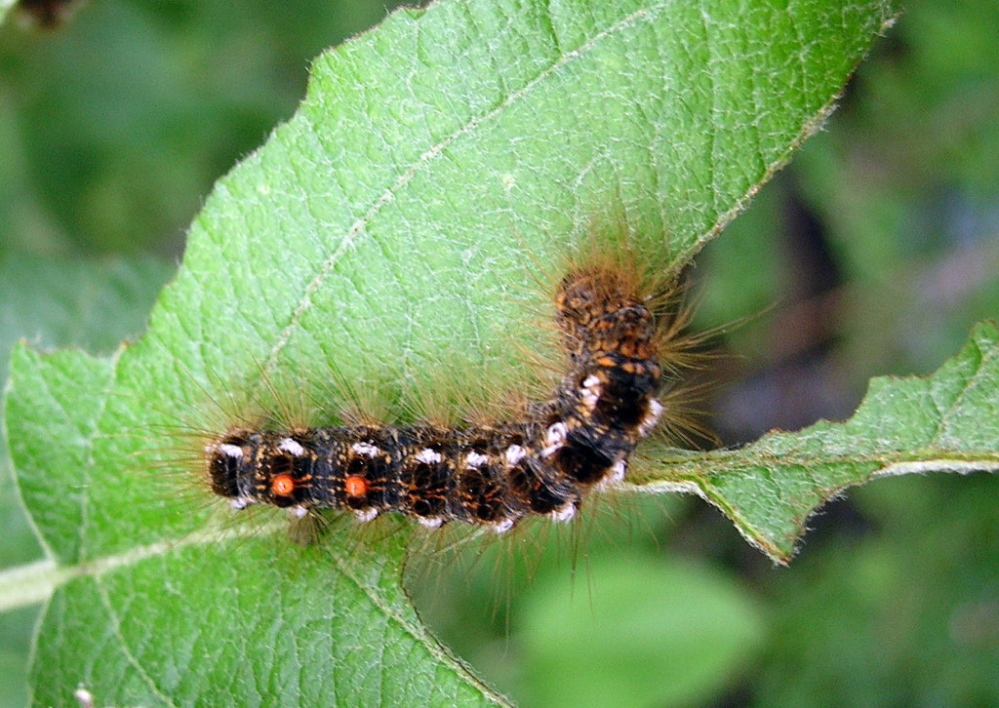 The prickly hairs covering the body of the browntail moth caterpillar can cause skin rashes and respiratory problems in humans.