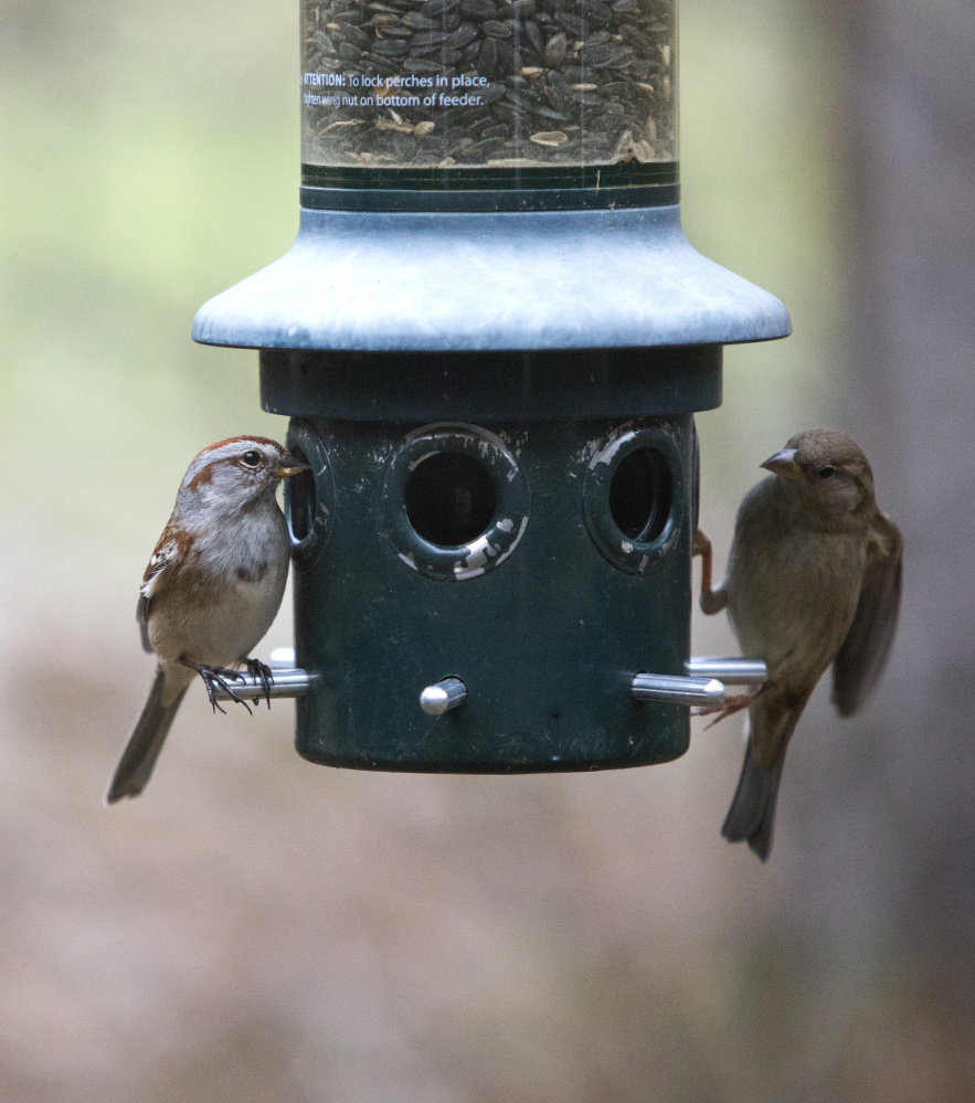 An American tree sparrow, left, and a house sparrow eat from a feeder at Audubon's Gilsland Farm.