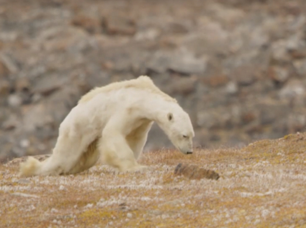 An emaciated polar bear caught on video by nature photographer Paul Nicklen near the Arctic Circle brought tears to the eyes of those who spotted it searching for food.