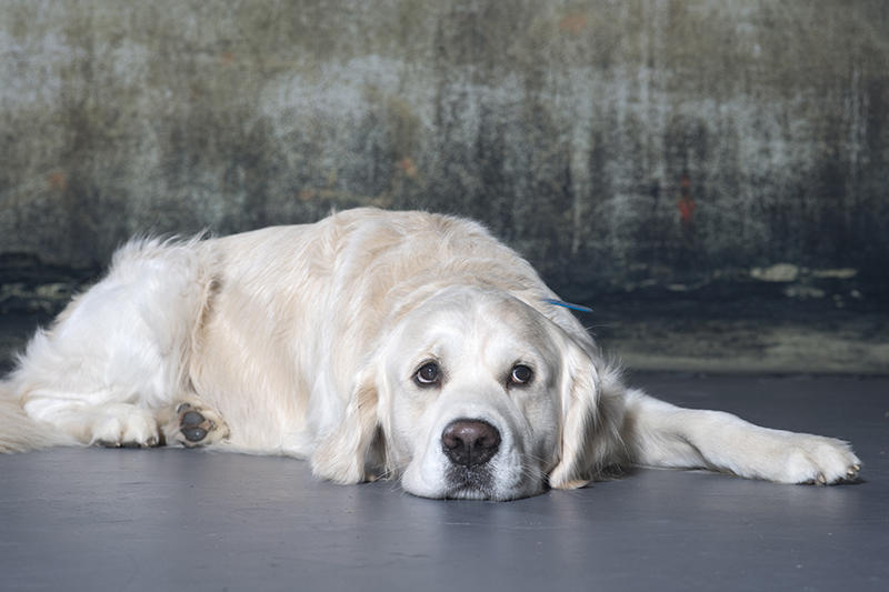 Charley is on of the golden retrievers enrolled in the longitudinal study.