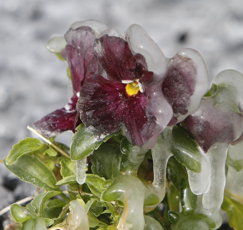 Ice covers a pansy near the fountain at Beau View condominiums in Biloxi, Miss., on Monday.
