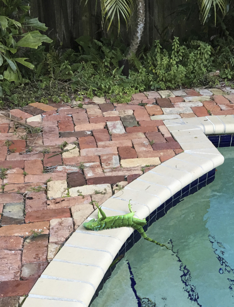 An iguana that froze lies near a pool after falling from a tree in Boca Raton, Fla., Thursday.