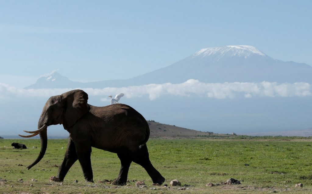 Changes in social and economic conditions can be the biggest factor in animal deaths in times of war. Well-protected within the confines of Amboseli National Park, this elephant was photographed in front of Mount Kilimanjaro last year.