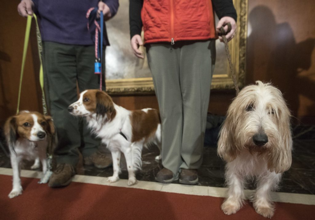 Juno, right, a grand basset griffon Vendeen, and two Nederlandse kooikerhondjes, Escher, left, and Rhett, center, stand with their handlers during a news conference at the American Kennel Club headquarters Wednesday.