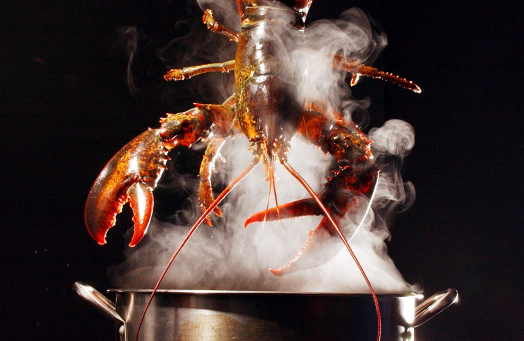 A lobster is lowered into a pot of boiling water in Freeport. A study out of Norway concluded that it's unlikely lobsters feel pain, stirring up a debate over whether Maine's most valuable seafood suffers when it's being cooked.